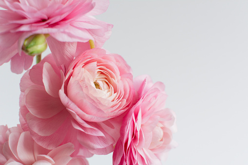 Pink Color「Ranunculus on white background」:スマホ壁紙(3)