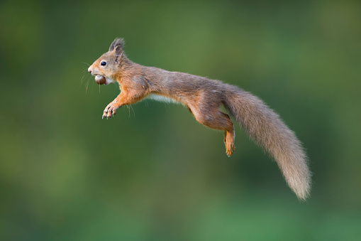 Squirrel「Jumping red squirrel carrrying hazelnut in mouth」:スマホ壁紙(5)