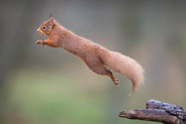 Jumping red squirrel:スマホ壁紙(壁紙.com)