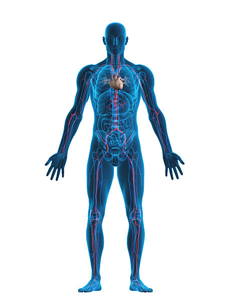 Human heart and vascular system:スマホ壁紙(壁紙.com)