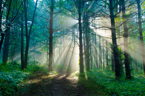 Pine Woodland「Morning Sunlight Filtering Through Foggy Forest in the Summertime」:スマホ壁紙(3)