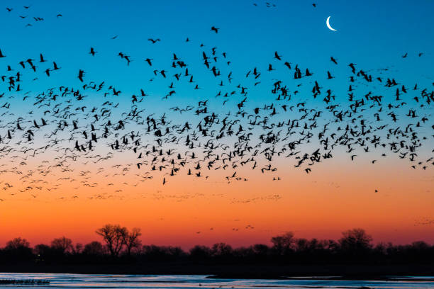 Flock of sandhill crane (Antigone canadensis) birds at sunset, Platte River, Kearney, Nebraska, USA:スマホ壁紙(壁紙.com)