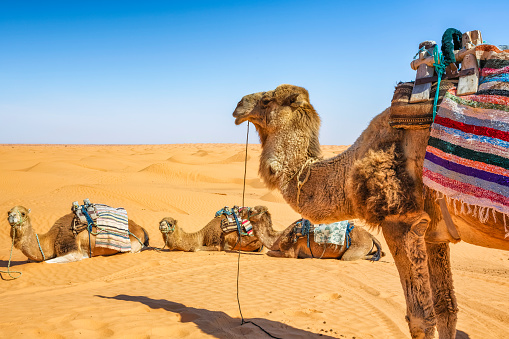 Camel Family「Dromedary in the Sahara desert of Ksar Ghilane erg , Tunisia」:スマホ壁紙(5)