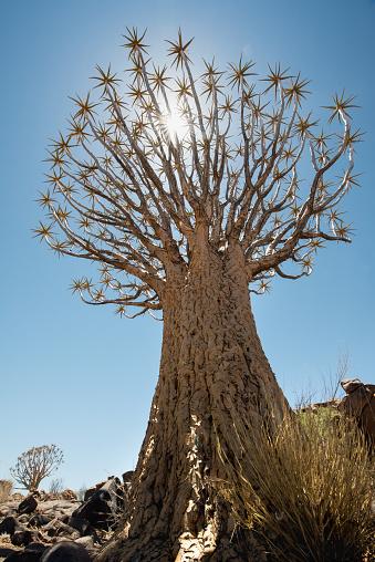 Quiver Tree「Köcherbaum Wald Landschaft」:スマホ壁紙(9)