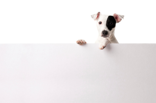 Waiting「Adorable jack russell with a banner」:スマホ壁紙(9)