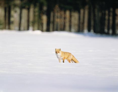Fox「Fox on snowy field. Kushiro, Hokkaido Prefecture, Japan」:スマホ壁紙(17)