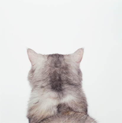 Animal Head「White cat against white background, rear view, close-up」:スマホ壁紙(14)