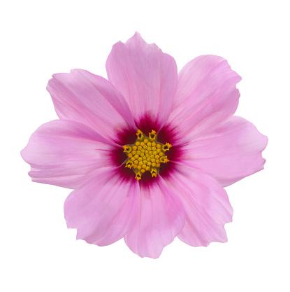Cosmos Flower「Pale pink cosmos flower with darker centre on white.」:スマホ壁紙(8)