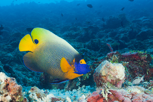 South Male Atoll「Yellowmask Angelfish (Pomacanthus xanthometopon)」:スマホ壁紙(11)
