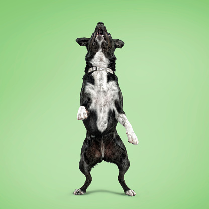 Curiosity「Mix-breed dog standing on hind legs, studio shot」:スマホ壁紙(13)