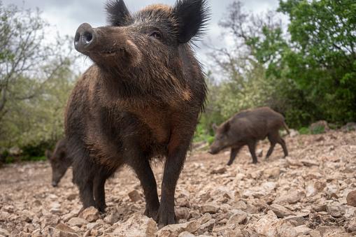 Boar「Wild boars in Provence」:スマホ壁紙(5)