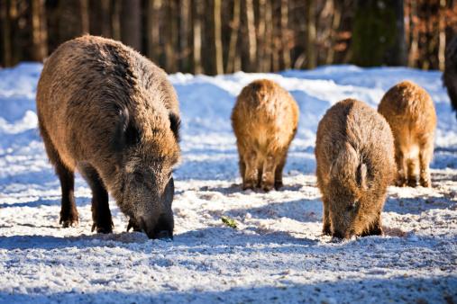 猪「ワイルド boars に雪をかぶった森林」:スマホ壁紙(17)