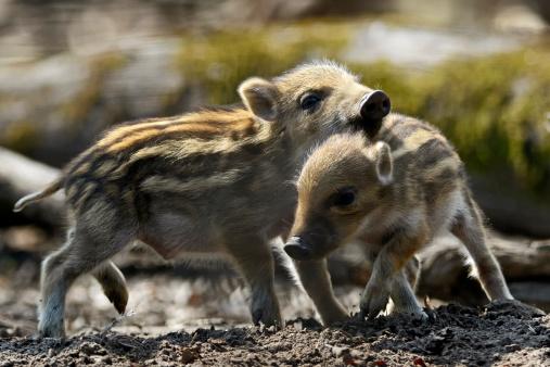猪「Wild boars」:スマホ壁紙(17)