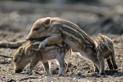 猪「Wild boars」:スマホ壁紙(16)
