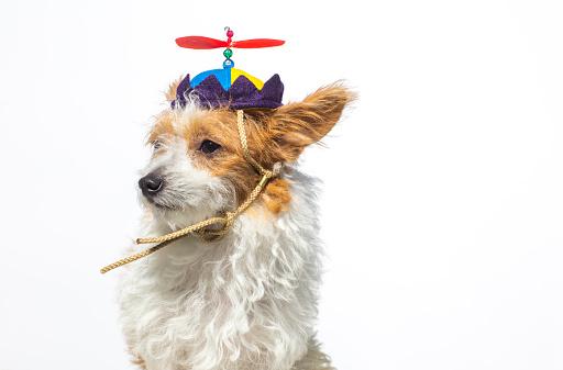 杏「プロペラの帽子をかぶってかわいい犬」:スマホ壁紙(14)