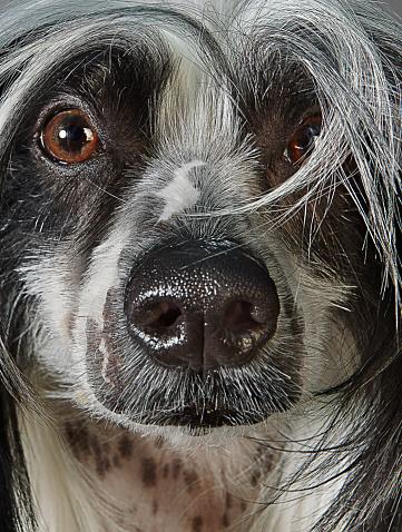 Animal Head「Chinese Crested Dog Closeup」:スマホ壁紙(0)