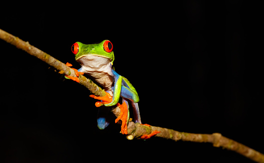 Approaching「Red-Eyed Tree Frog at Night, Costa Rica」:スマホ壁紙(3)
