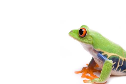 Tree Frog「Red-eyed tree frog」:スマホ壁紙(14)