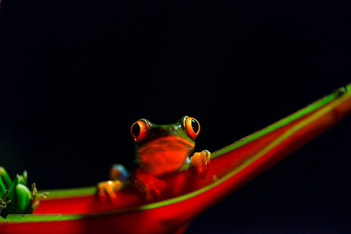 Heliconia「Red-Eyed Tree Frog」:スマホ壁紙(16)