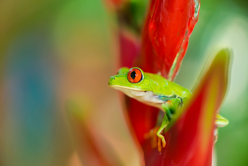 Heliconia「Red-Eyed Tree Frog」:スマホ壁紙(19)