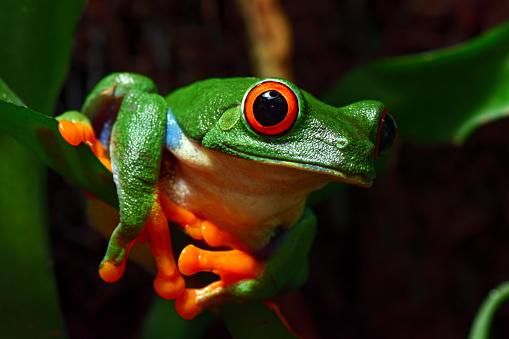 Tree Frog「red-eyed tree frog」:スマホ壁紙(5)