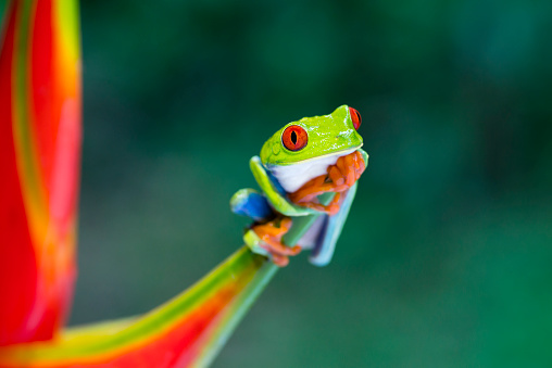 Heliconia「Red-Eyed Tree Frog climbing on heliconia flower, Costa Rica animal」:スマホ壁紙(14)
