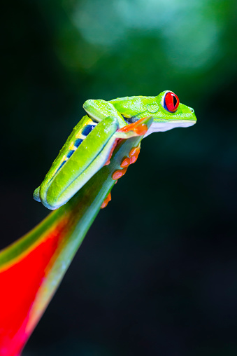 Heliconia「Red-Eyed Tree Frog climbing on heliconia flower, Costa Rica animal」:スマホ壁紙(18)