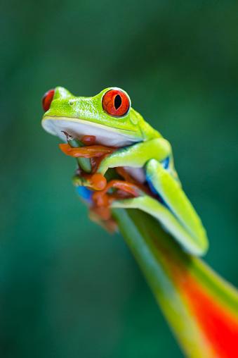 Animal Eye「Red-Eyed Tree Frog climbing on heliconia flower, Costa Rica animal」:スマホ壁紙(19)