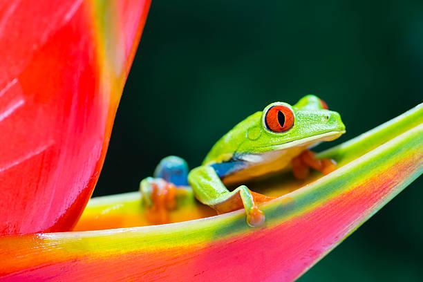 Red-Eyed Tree Frog climbing on heliconia flower, Costa Rica animal:スマホ壁紙(壁紙.com)
