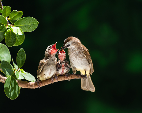 Female Animal「Yellow-vented bulbul bird feeding chicks, Parit Buntar, Perak, Malaysia」:スマホ壁紙(17)