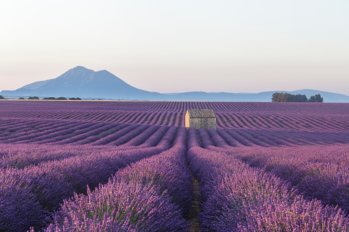July「An old barn amongst the lavender fields on the Plateau de Valensole, Provence, France.」:スマホ壁紙(14)
