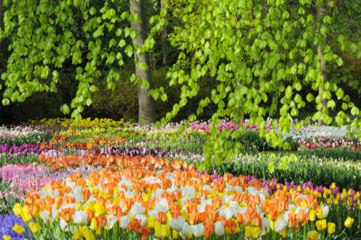 Keukenhof Gardens「Flower bed with spring flowers, formal garden.」:スマホ壁紙(10)