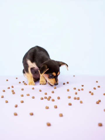 Eating「Chihuahua puppy eating dog food from floor」:スマホ壁紙(16)