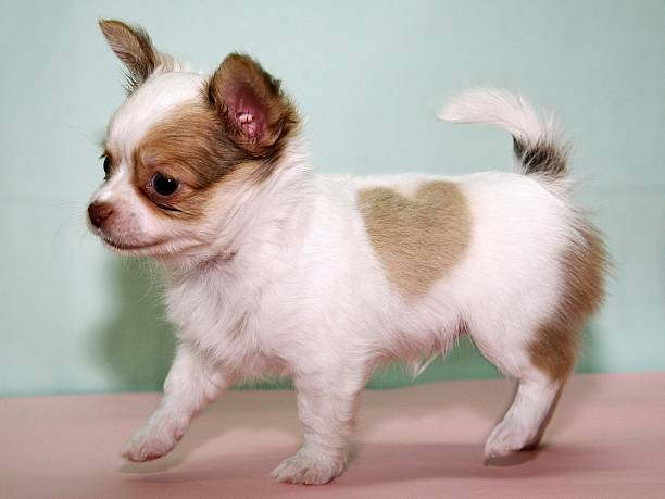 Pet Shop Displays Chihuahua With Unique Heart-Shaped Marking:ニュース(壁紙.com)