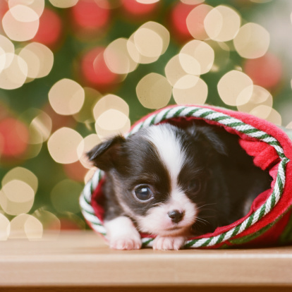 Christmas Lights「Chihuahua Puppy in Christmas stocking in front of Christmas tree, close-up」:スマホ壁紙(4)