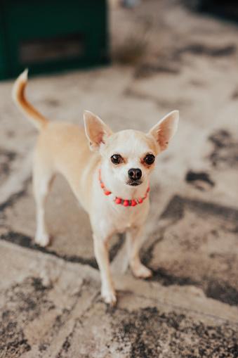 Chihuahua - Dog「Chihuahua」:スマホ壁紙(19)