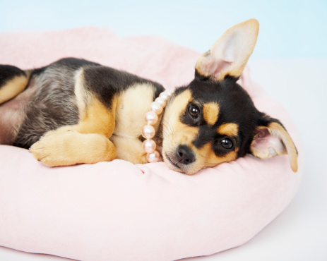 Chihuahua - Dog「Chihuahua puppy lying down」:スマホ壁紙(18)