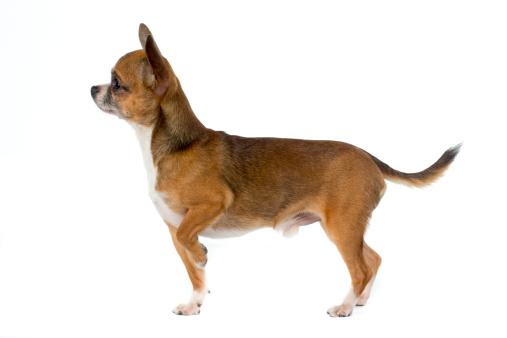 Chihuahua - Dog「Chihuahua」:スマホ壁紙(14)