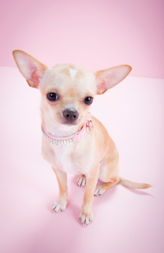 Girly「chihuahua, pink background, looking to camera」:スマホ壁紙(16)