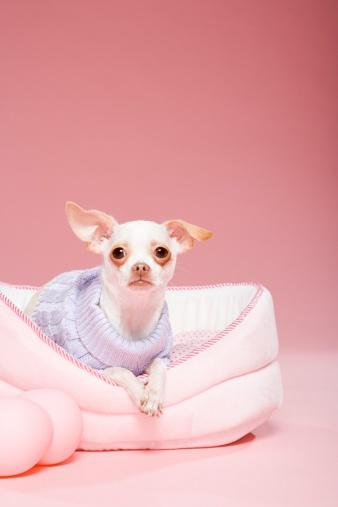 Chihuahua - Dog「Chihuahua」:スマホ壁紙(5)