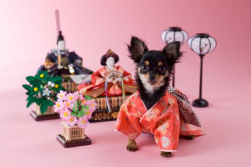 Hinamatsuri「Chihuahua Puppy and Hinamatsuri Doll」:スマホ壁紙(14)