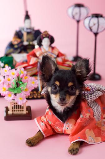 Hinamatsuri「Chihuahua Puppy and Hinamatsuri Doll」:スマホ壁紙(15)