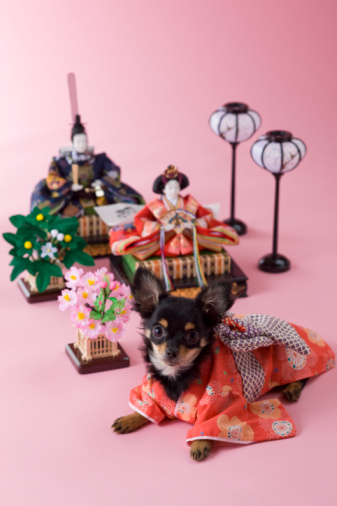 ひな祭り「Chihuahua Puppy and Hinamatsuri Doll」:スマホ壁紙(19)