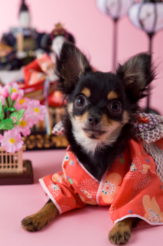 ひな祭り「Chihuahua Puppy and Hinamatsuri Doll」:スマホ壁紙(9)