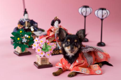 Hinamatsuri「Chihuahua Puppy and Hinamatsuri Doll」:スマホ壁紙(17)