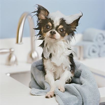 Wet「Chihuahua puppy wrapped in towel on sink, close-up」:スマホ壁紙(14)