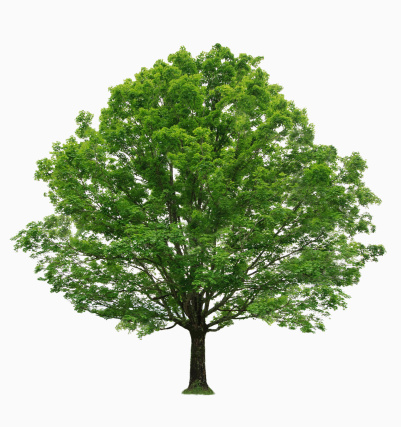 Branch - Plant Part「Maple tree on white background」:スマホ壁紙(15)