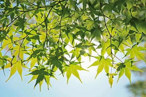 Japanese Maple「Maple tree」:スマホ壁紙(19)