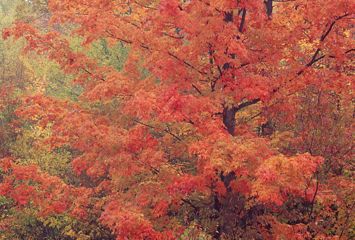 サトウカエデ「Maple tree in soft,autumn light」:スマホ壁紙(8)