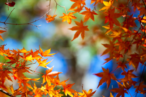 Satoyama - Scenery「maple tree」:スマホ壁紙(6)